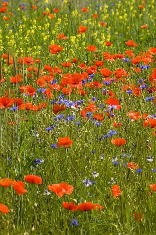 Free Poppies Royalty Free Stock Photo - 1505955