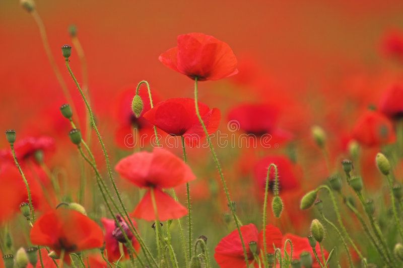 Poppies. A field of poppied shot using short depth of field. One or two blloms in sharp focus