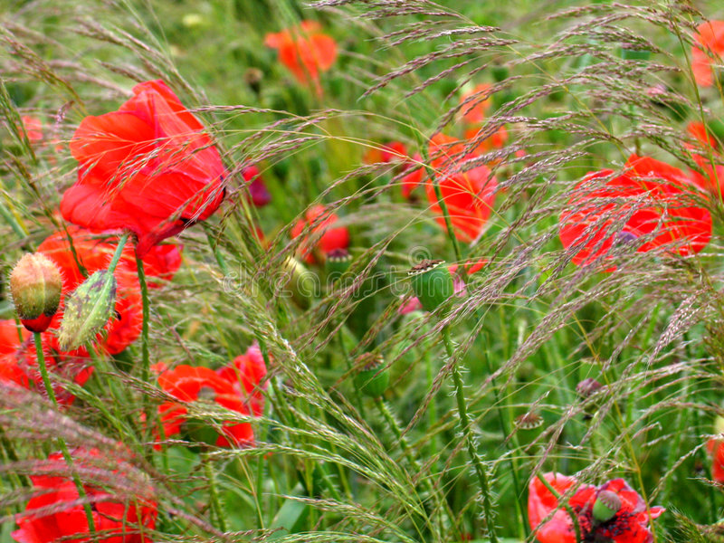 Download Poppies stock photo. Image of harvest, july, flower, summer - 162102