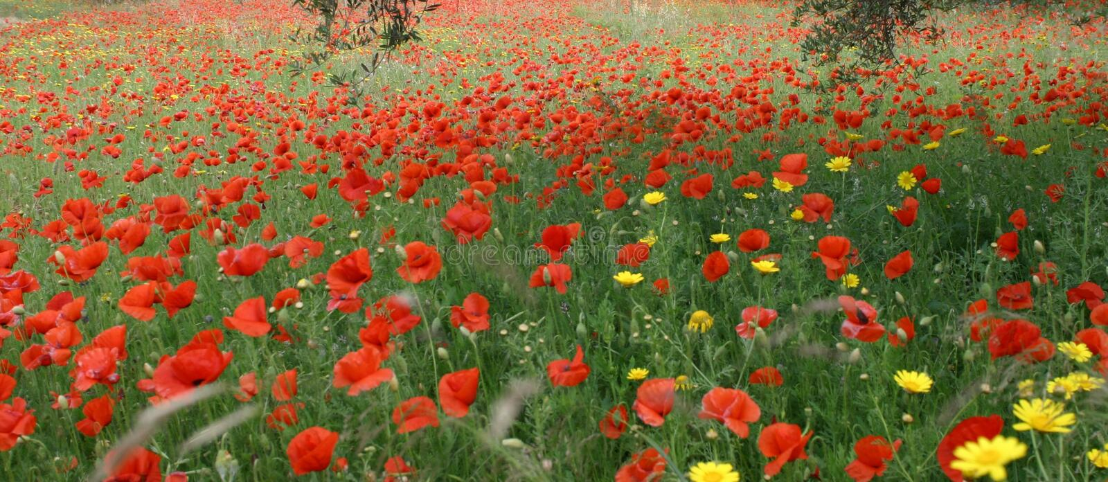Download Poppies stock image. Image of garden, poppies, sicily, scenery - 17573