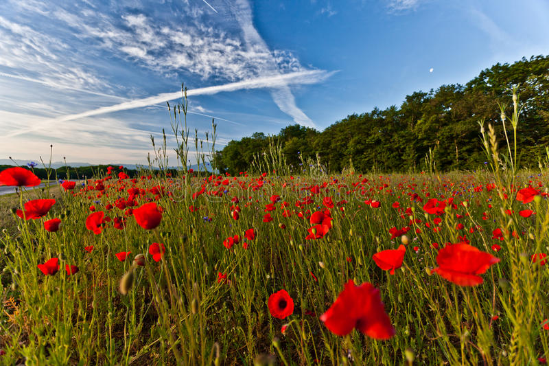 Download Poppies stock image. Image of summer, beauty, poppies - 19602143