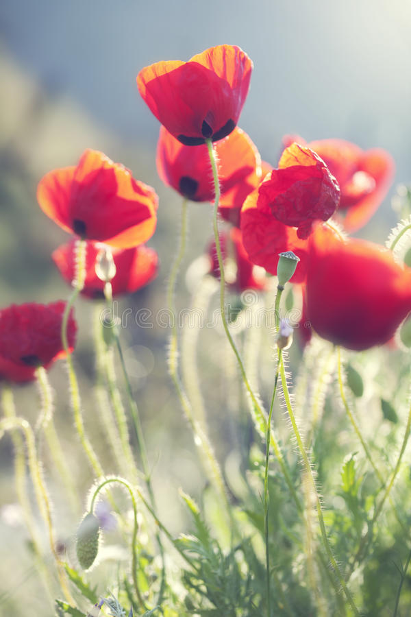 Download Poppies stock photo. Image of copy, outside, still, spring - 21792812