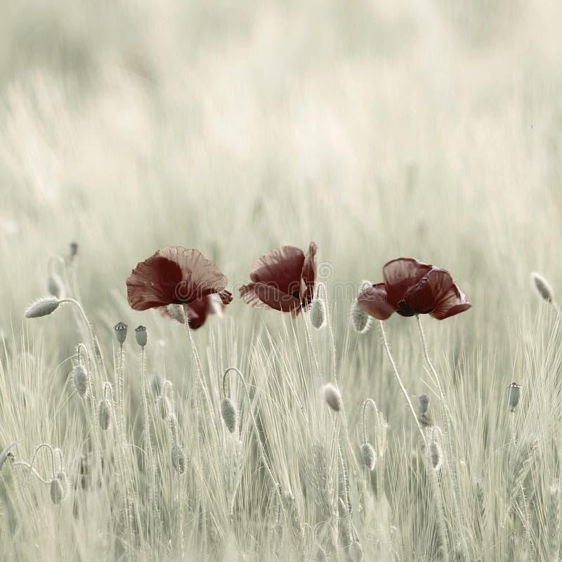 Free Poppies Stock Image - 2778591