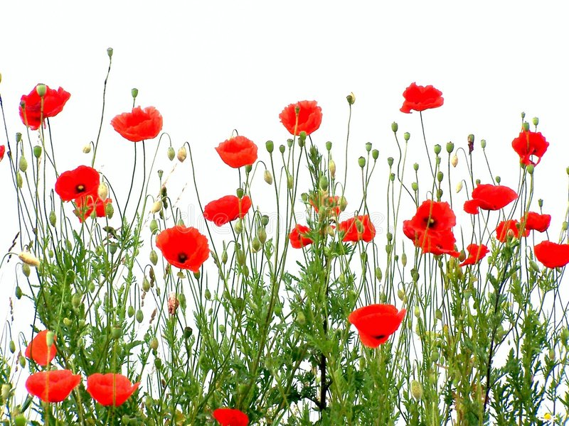 Poppies. Red poppies, isolated