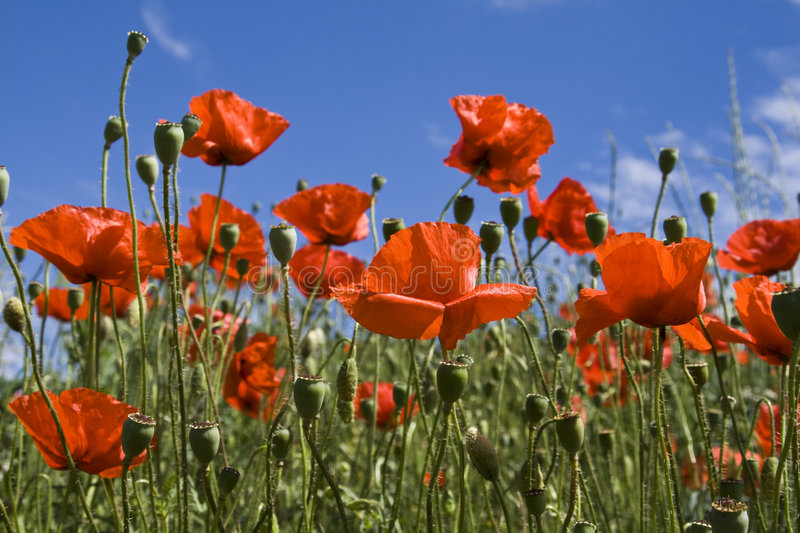 Download Poppies stock image. Image of clear, botany, beauty, cloud - 5551277