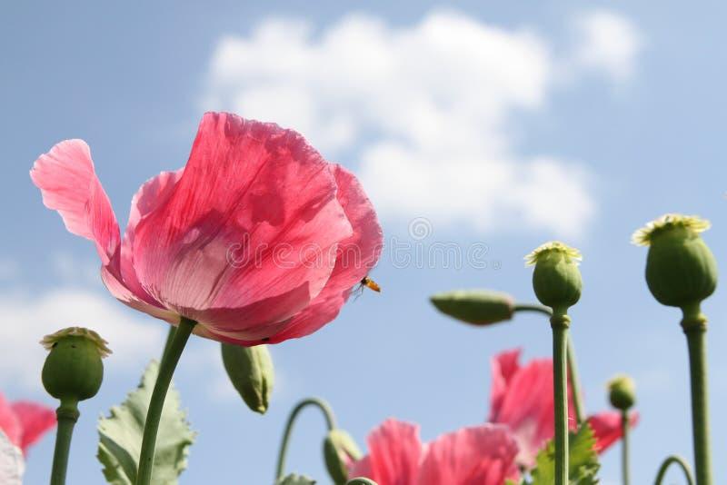 Poppies Free Public Domain Cc0 Image