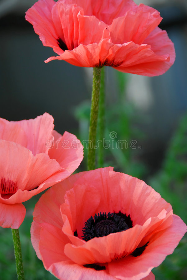 Free Poppies Royalty Free Stock Photography - 849637