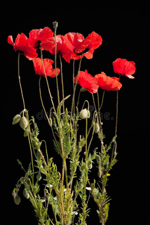 Download Poppies stock image. Image of spring, outdoors, season - 8504019