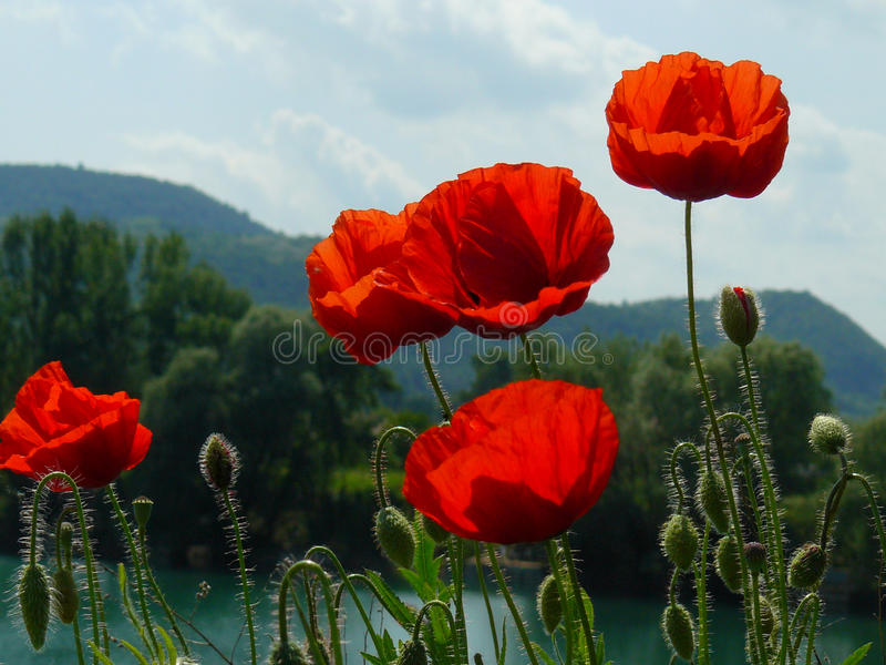 Poppies above hills at Danube river, Hungary royalty free stock photos