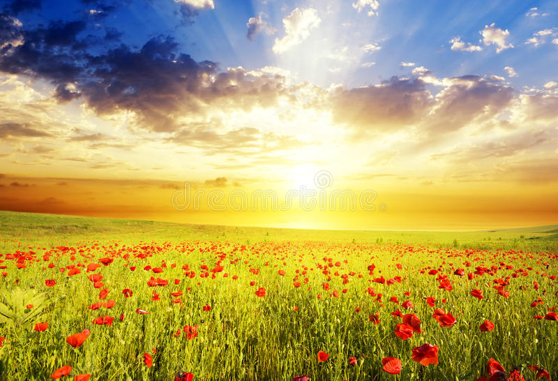 Poppies against the sunset sky royalty free stock photo