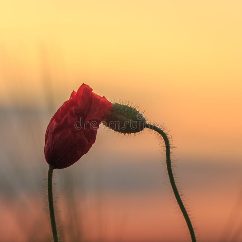Free Poppies Before Sunrise Royalty Free Stock Images - 41292629