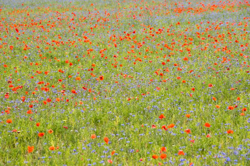 Poppies in bloom in the plain of Castelluccio di Norcia. Apennines, Italy. Poppies in bloom in the plain of Castelluccio di Norcia. Apennines, Umbria, Italy stock photo