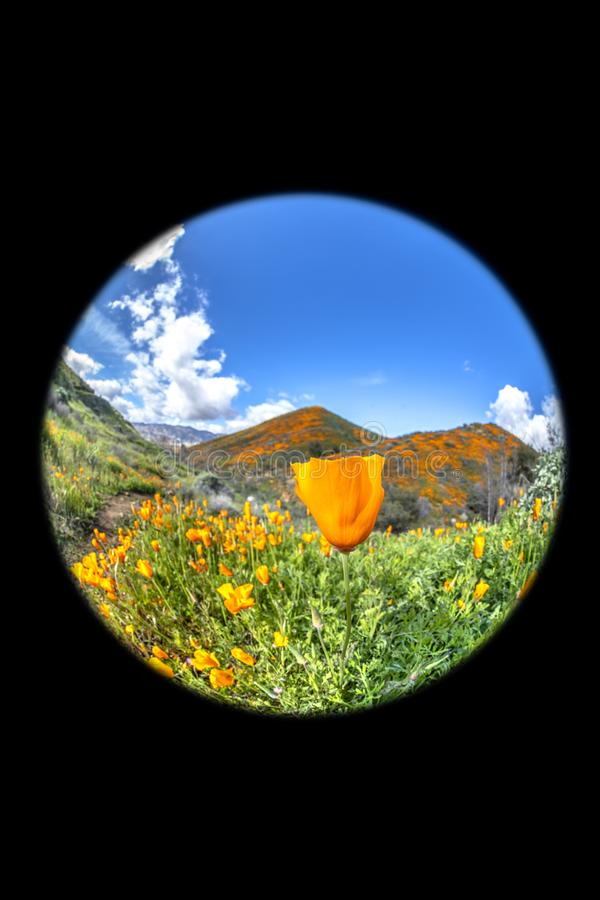 Poppies blooming on hillside stock photography