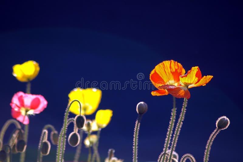 Poppies on Blue BG stock images