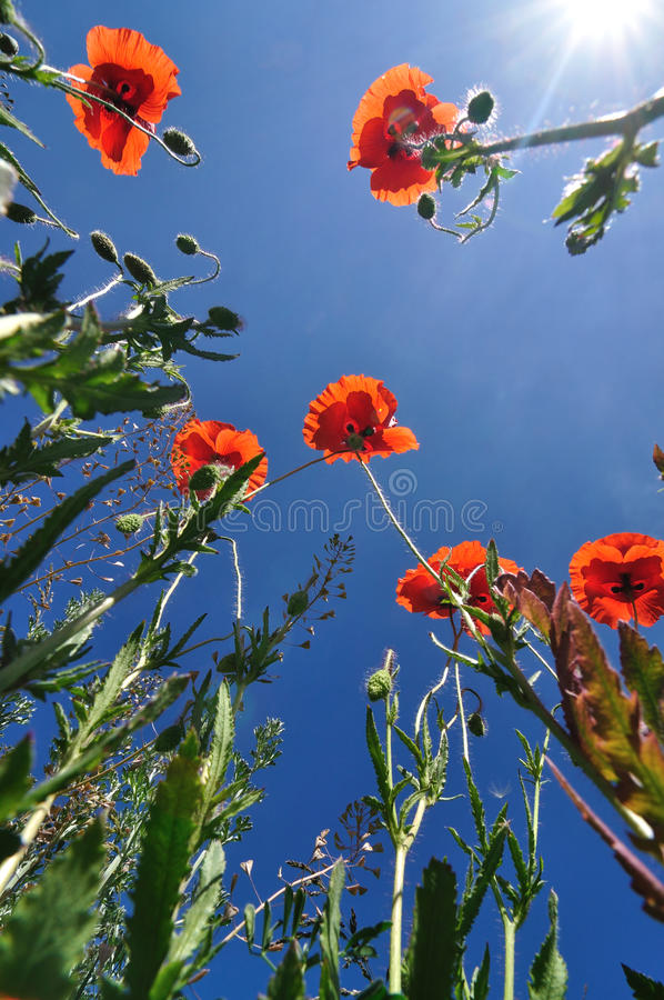 Download Poppies And Blue Sky Royalty Free Stock Images - Image: 24021669