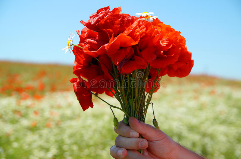 Poppies bouquet in a hand. Rural passion stock photos