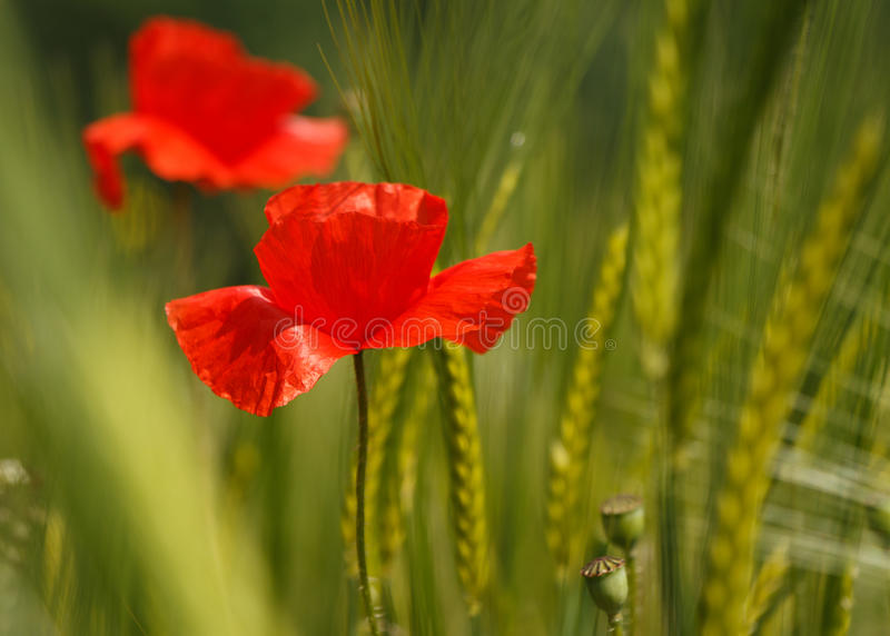 Poppies - color contrast. Poppies in a field of rye stock image