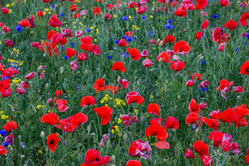 Poppies and cornflowers field background stock images