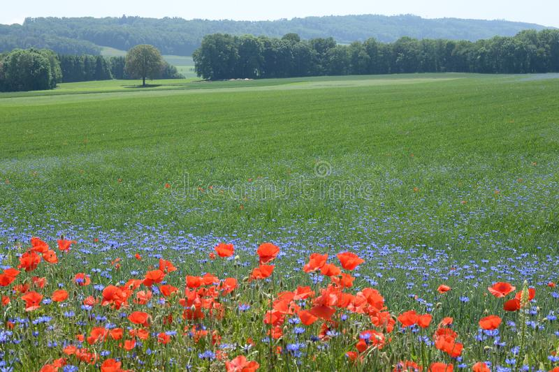 Poppies and cornflowers in a field, Sassel, Vaud, Switzerland royalty free stock photo