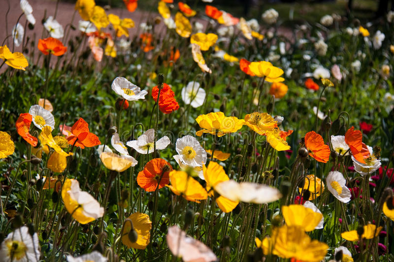 Poppies in field royalty free stock photography