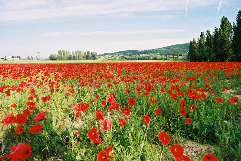 Download Poppies field 3 stock image. Image of cultivated, france - 129585