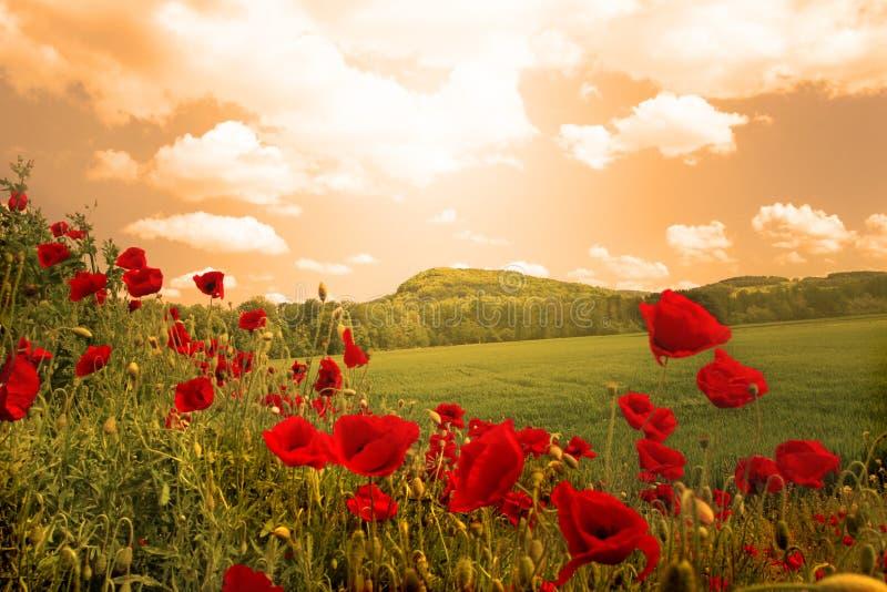 Poppies field royalty free stock photos