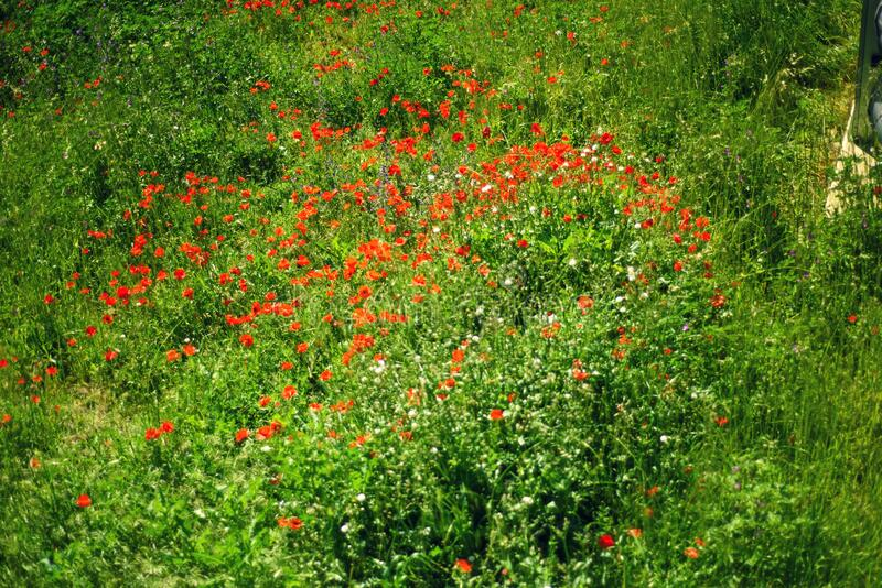 Poppies field with wild poppy flowers in may in Europe. Remembrance poppy. Red and green wild field in sunny day. Floral spring royalty free stock image
