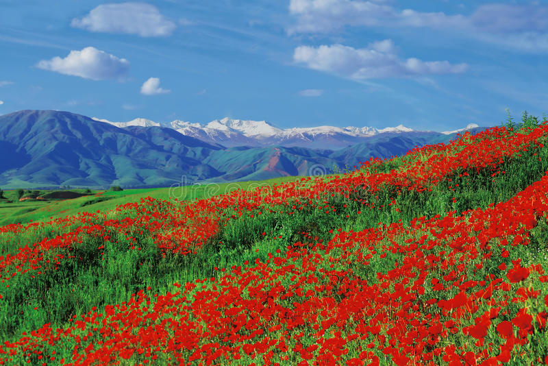 Poppies fields royalty free stock images