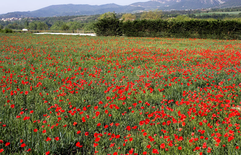 Poppies fields stock photography