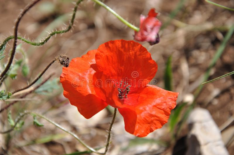 Poppies flourishing in the mountains. In dry grass royalty free stock photos