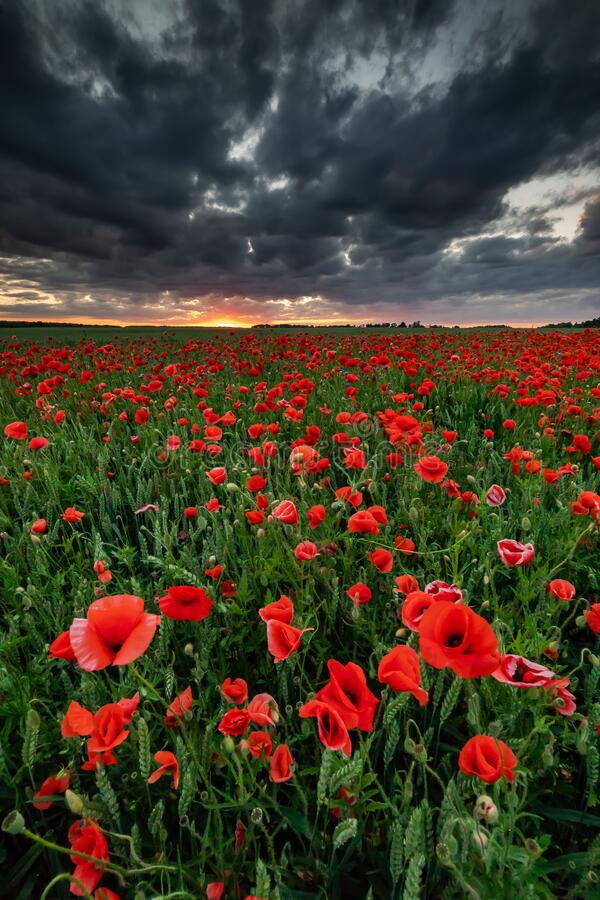 Free Poppies Flower Stock Images - 191449154