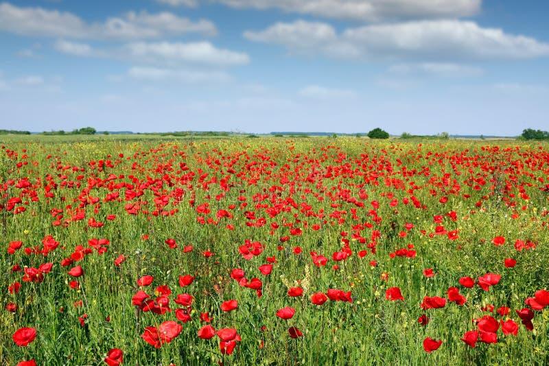 Poppies flower field landscape. Spring season stock photography