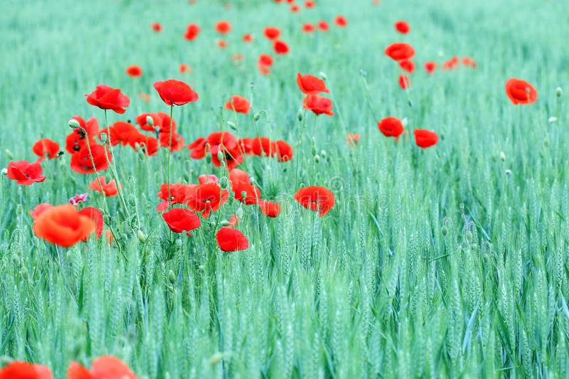 Poppies flower in green wheat field spring season royalty free stock photos