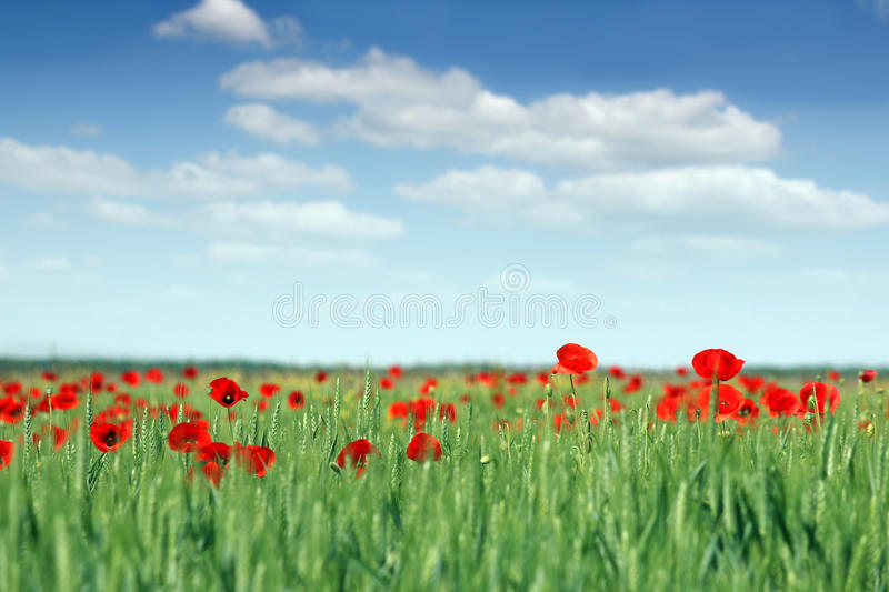 Poppies flower and green wheat stock photos