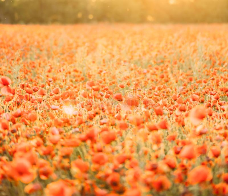 Poppies flowers meadow landscape on summer sunny day. stock image