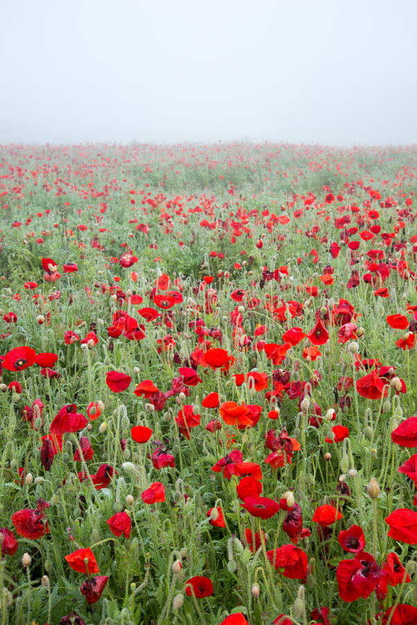 Poppies in fog royalty free stock photos