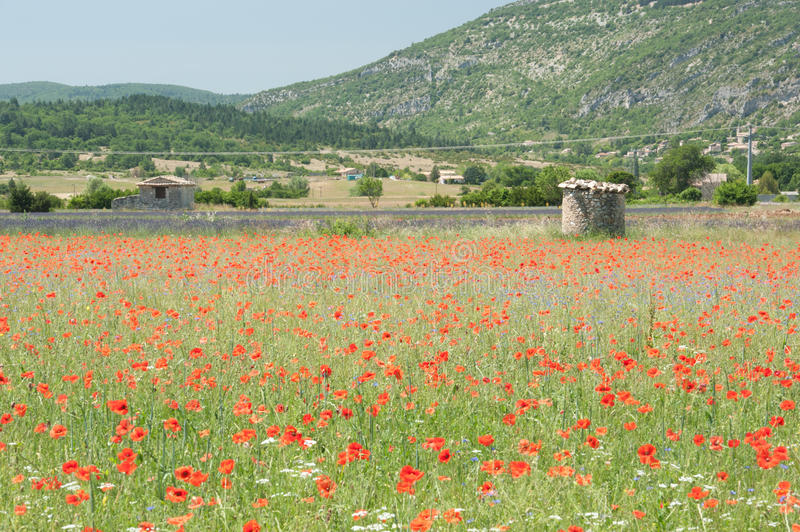 Poppies in a French Field royalty free stock images
