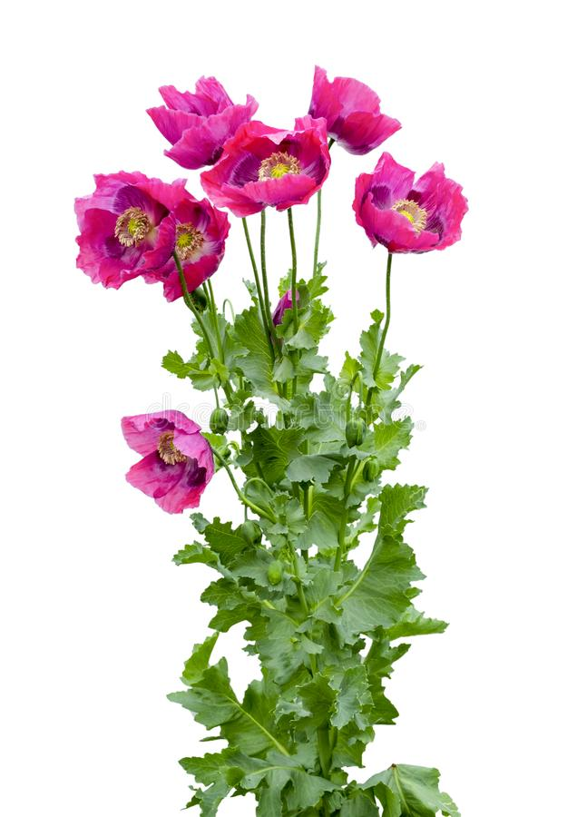 Poppies Galore. LARGE GROUP OF PURPLE POPPIES ISOLATED ON A WHITE BACKGROUND SUITABLE FOR GREETINGS CARD royalty free stock image