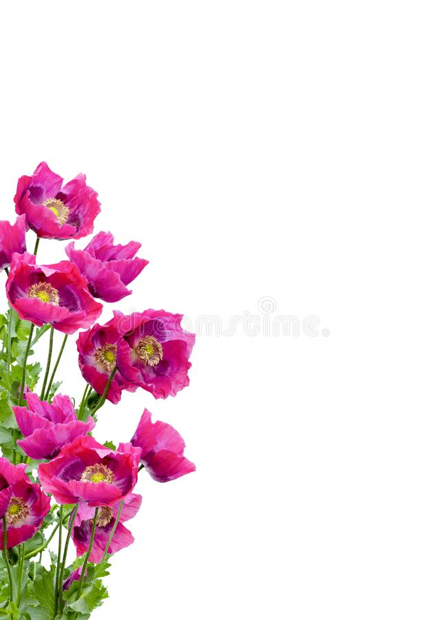 Poppies Galore. LARGE GROUP OF PURPLE POPPIES ISOLATED ON A WHITE BACKGROUND SUITABLE FOR GREETINGS CARD stock images