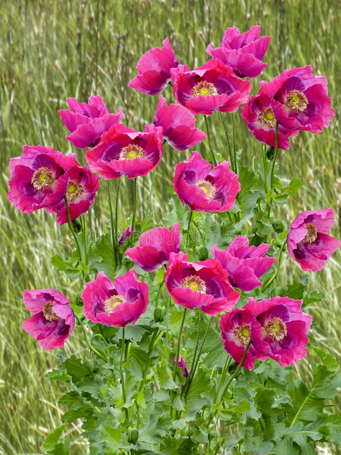 Poppies galore. View of Large poppies in full bloom on a blurred background stock photos