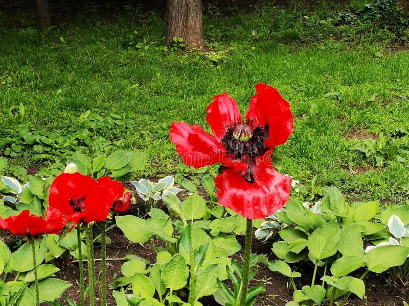 Poppies in the garden with flowers stock photos