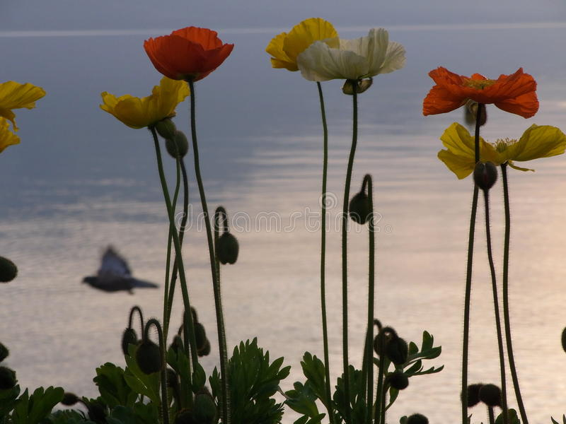 Poppies & Geneva lake stock photography