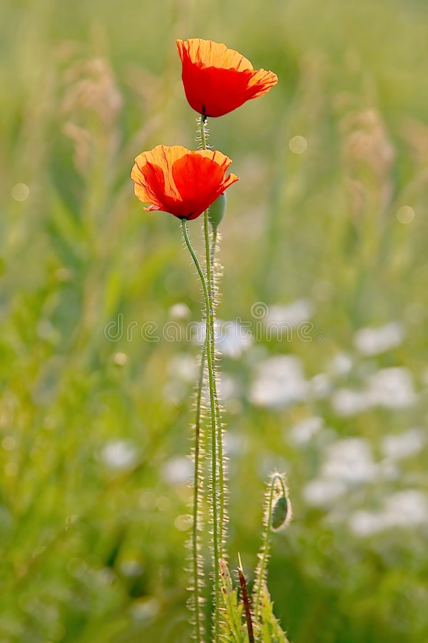 Poppies in the golden light of the sun stock images