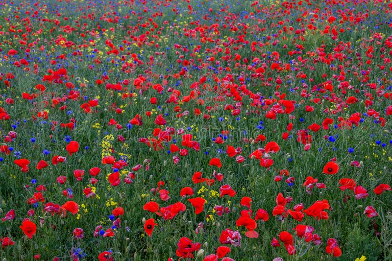 Poppies on the green field royalty free stock photo