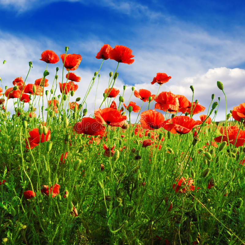 Download Poppies on green field stock image. Image of flores, grass - 34251539
