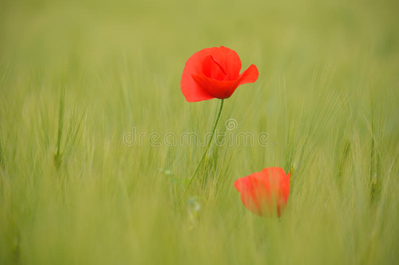 Download Poppies In Green Wheat Field Stock Photo - Image: 83700331