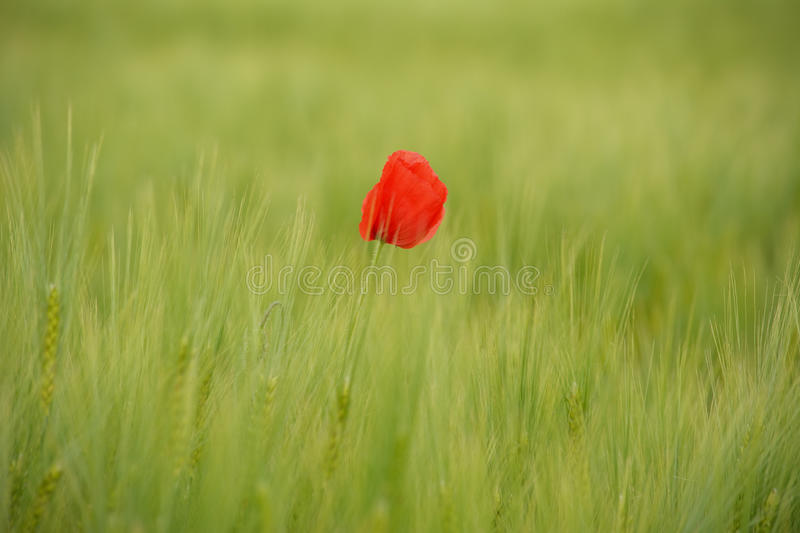 Download Poppies In Green Wheat Field Stock Photo - Image: 83700433