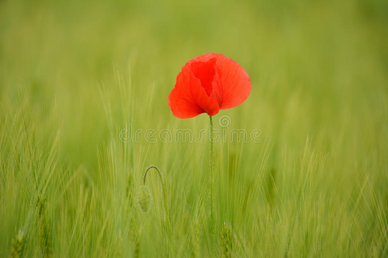 Download Poppies In Green Wheat Field Stock Photo - Image: 83700699