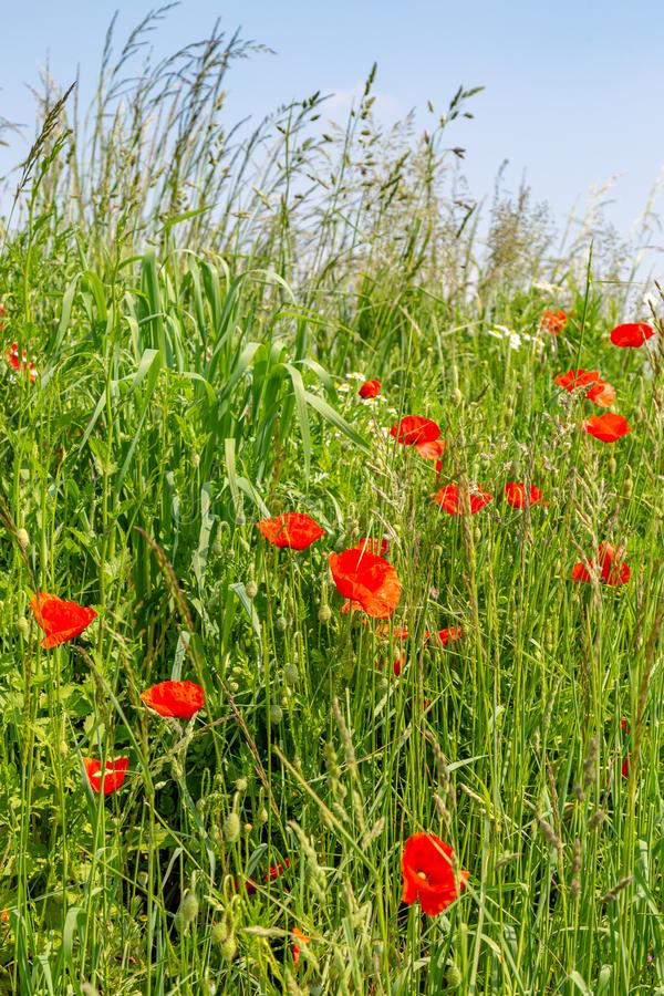 Poppies in the Countryside. Poppies Growing on a Grass Verge Amongst Tall Grass, in France royalty free stock photography