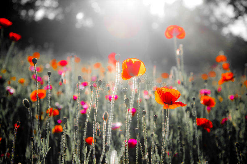 Poppies Growing Wild royalty free stock photography